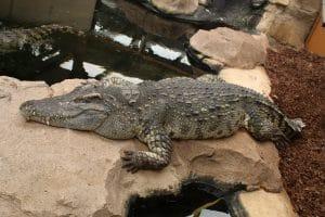 July 2017, Hugo the Siamese Crocodile relaxing on a rock